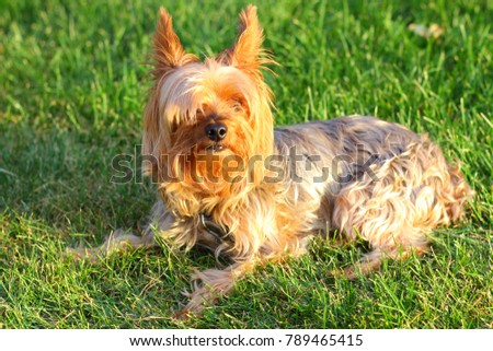 Yorkie Poo Outside Small Dog Stock Photo Edit Now 789465415