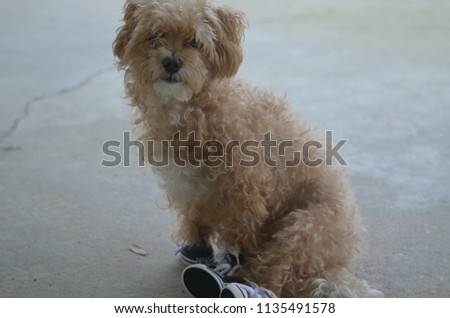 Yorkie Poo Shoes Stock Photo Edit Now 1135491578 Shutterstock