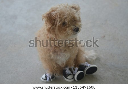Yorkie Poo Shoes Stock Photo Edit Now 1135491608 Shutterstock