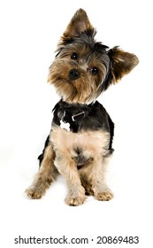 Yorkie puppy isolated on white with her head tilted