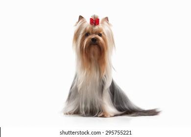 Yorkie puppy on white background