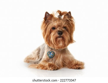 Yorkie puppy on white gradient background