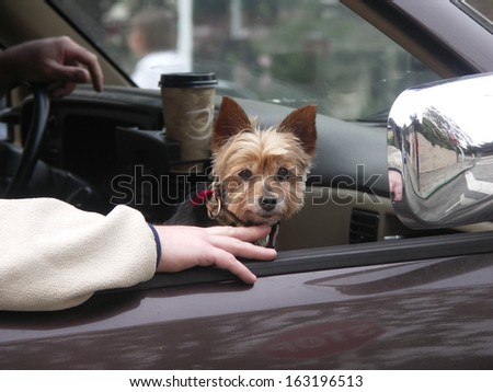 Yorkie Riding In Car