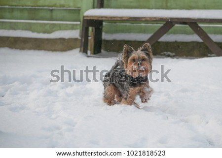 Yorkie Running Snow Winter Stock Photo Edit Now 1021818523