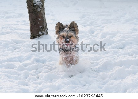Yorkie Running Snow Winter Stock Photo Edit Now 1023768445