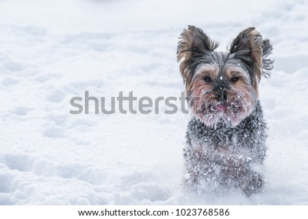 Yorkie Running Snow Winter Stock Photo Edit Now 1023768586