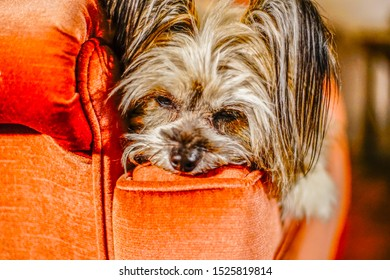 Yorkie Terrior dog lazing around on his library chair