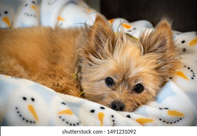 Yorkie-Pom dog breed laying in bed