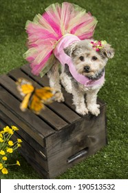 A yorkie-poo (cross of Yorkshire Terrier and toy poodle dog) wearing a pink dress stands on a wooden box and looks up at a butterfly