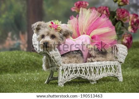 Yorkiepoo Cross Yorkshire Terrier Toy Poodle Stock Photo Edit Now