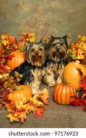 Yorkies and Pumpkins
