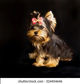Yorkie Dog Images Stock Photos Vectors Shutterstock