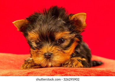 Yorkirsky terrier in studio on a red background. Charming with a beautiful pedigree dog hair on the dog show. With selective focus
