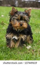 Yorkishire terrier puppy on green grass
