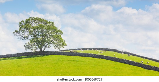 Yorkshire Dales panoramic landscape with a tree, sheep and stone walls.