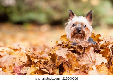 Yorkshire Dog on the autumn leaves