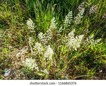 Yorkshire fog, tufted or velvet grass, Holcus lanatus, growing in Galicia, Spain