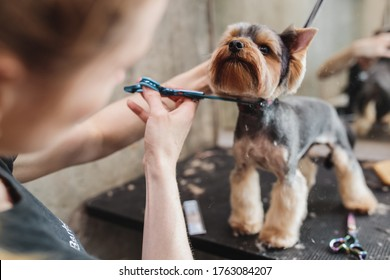 Yorkshire in the grooming salon. Caring for little friends. High quality photo