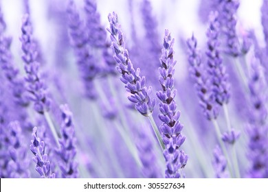 Yorkshire lavender, Terrington, North Yorkshire, England, UK