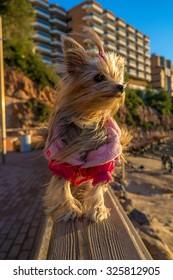Yorkshire Pet dog on the parapet on the beach of Salou, province of Tarragona (Spain)