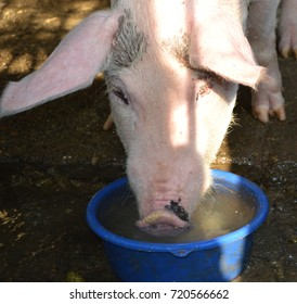 Yorkshire pig and water