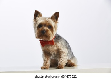 Yorkshire with red bow tie. Pure bred dog. Studio shot. Horizontal format