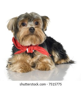 Yorkshire Terrier (1 year) in front of a white background