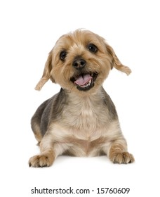 Yorkshire Terrier (10 years) in front of a white background