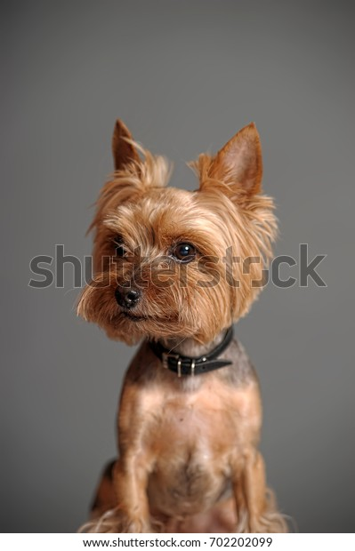 Yorkshire Terrier ( after cutting hair)
