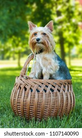 Yorkshire terrier in the basket outdoors