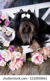 yorkshire terrier black