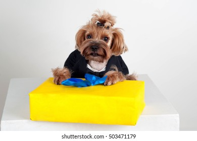 Yorkshire terrier in a black suit with a gift in bright yellow packaging