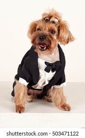 Yorkshire terrier in a black suit on a white background
