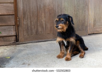 Yorkshire Terrier  black and tan puppy dog is sitting front house, process color.