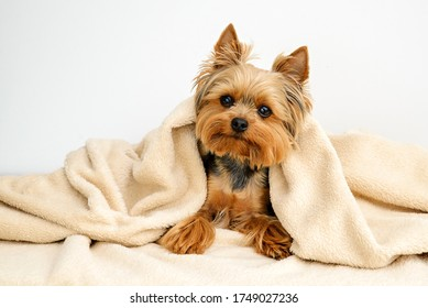 Yorkshire terrier with blanket, Dog resting,Cute dog, Funny Yorkie