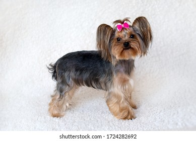 Yorkshire Terrier with a bow on a white background. portrait. close-up. Image with selective focus