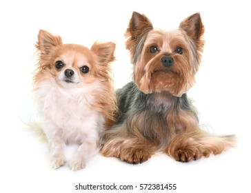 yorkshire terrier and chihuahua in front of white background