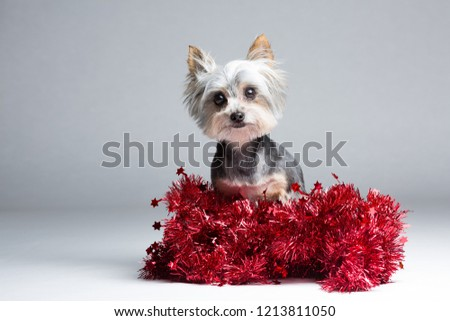 Yorkshire Terrier Christmas Card Stock Photo Edit Now 1213811050