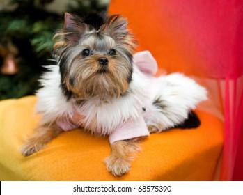 yorkshire terrier clad in coat with fur