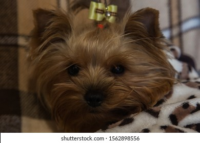 Yorkshire terrier close-up at home.
