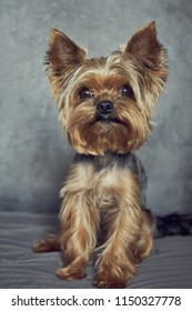 Yorkshire Terrier close-up on a concrete background