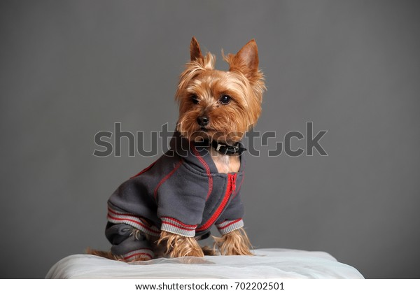 Yorkshire terrier in clothes for dogs