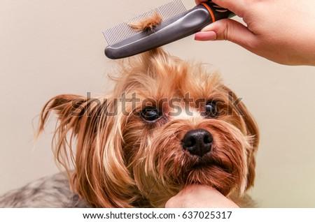 Yorkshire Terrier Combing Doing Grooming Closeup Stock Photo Edit
