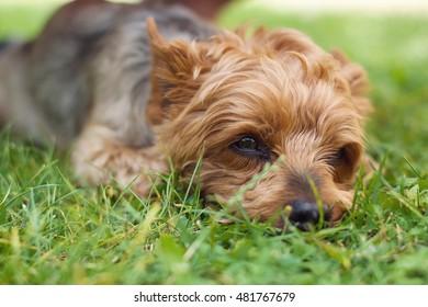 Yorkshire Terrier detail head older male.