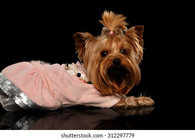 Yorkshire Terrier Dog in Clothes Lying on Black Mirror background