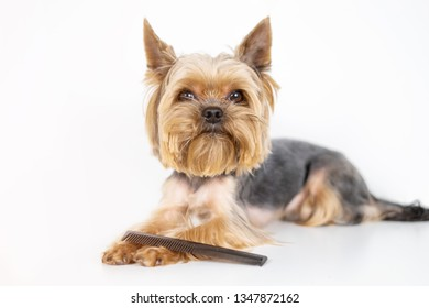 Yorkshire terrier dog with comb, grooming