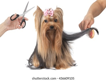Yorkshire terrier dog grooming isolated on white background