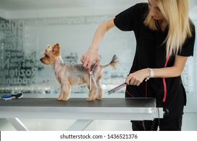 Yorkshire terrier at a dog grooming salon