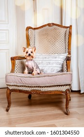 The Yorkshire Terrier dog at home