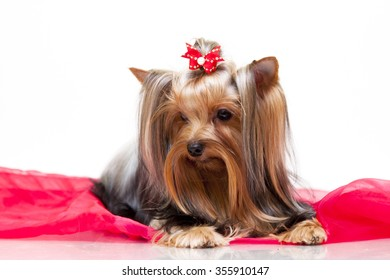 yorkshire terrier dog Isolated over white background